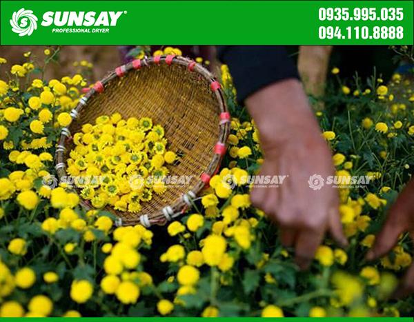 Hoa cúc tươi được chọn để chế biến trà hoa cúc