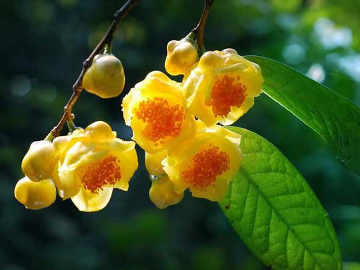 Trà hoa vàng giàu dưỡng chất mang lại nhiều lợi ích cho sức khoẻ